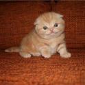 Котята Шотландской вислоухой!!!