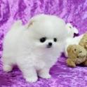 АКС шпиц щенки мама 6 фунтов папа 4 кг.