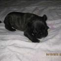 Продам щенков французского бульдога с родословной