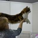 Впервые в Сибири котята мейн куна от производителей из USA