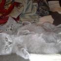 Продам котенка породы Шотландская прямоухая