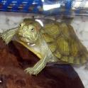 Продаю морскую черепашку вместе с аквариумом