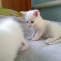 Белых котят продам в хорошие руки