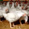 Куры,бройлеры,цыплята.