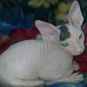 кот асеменитель
