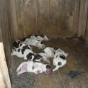 щенки немецкой гладкошёрстной легавой породы курцхаар