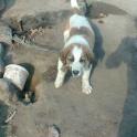 щенок алабая 1,5месяц