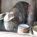 Кролики фландр с шиншилой