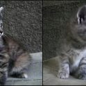 Продам котят от Норвежской лесной кошки