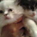 Продам персидских котят.