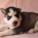 Сибирский хаски щенки 13 недель