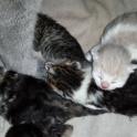 Мраморные плюшевые британские котята редких окрасов