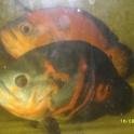 Продам рыб астранаусов
