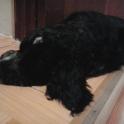 Продам щенка, порода русский охотничий спаниель, 2 мес.