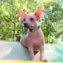 Мексиканская голая собака (Ксолоитцкуинтли) мини