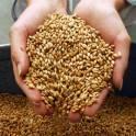 Продам пшеницу, зерноотходы, ячмень, овёс. По всей территории Казахстана и Росии. Контактное лицо; Камал