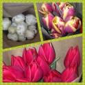 Тюльпаны на 8 марта.