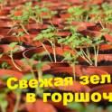 Пряные травы и салаты в горшочках