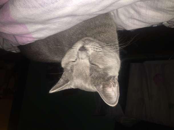 Отдам Британского кота в хорошие руки, фотография 2