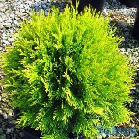 Саженцы Туи для озеленения, фотография 3