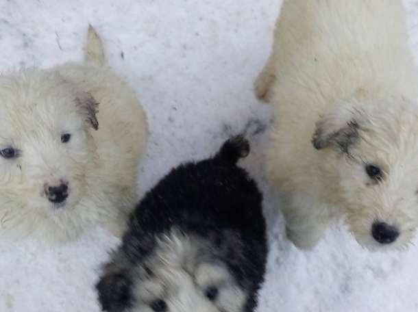 Продам щенков южнорусской овчарки, фотография 3