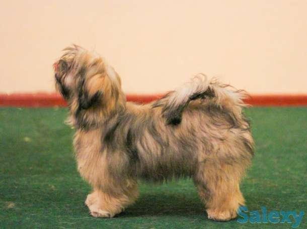 Продаётся щенок Лхасо Апсо, фотография 4