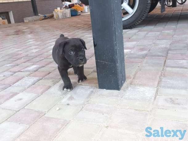 Продам щенков Итальянского мастифа, фотография 10