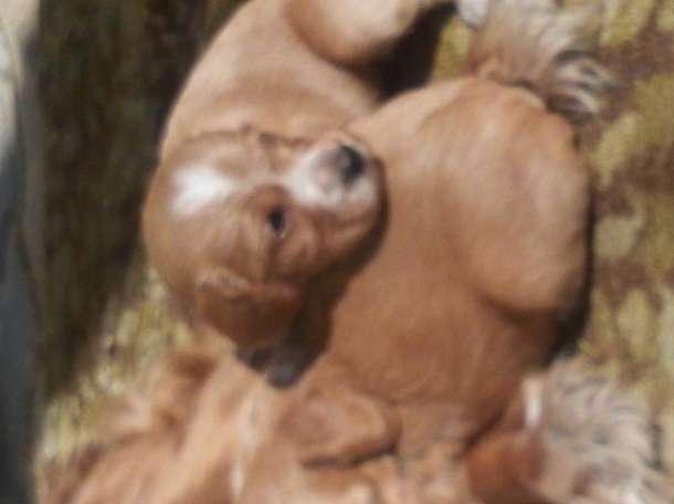 щенки спаниель, фотография 1