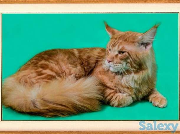 Котята мейн куна в Новосибирске., фотография 6