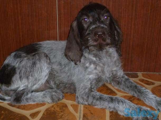 Дратхаара щенков продам, фотография 1