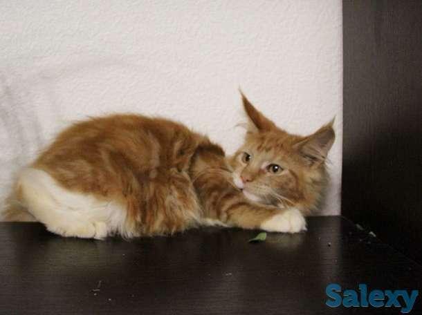 Котята мейн куна в Новосибирске., фотография 3