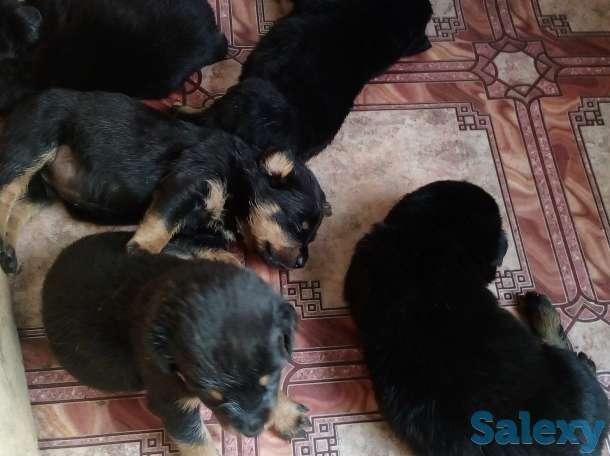 Продам щенков ротвейлера, фотография 3