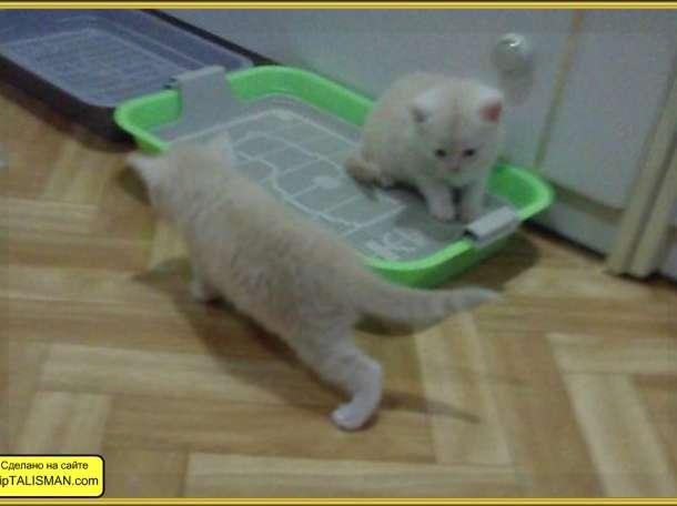 Продаю  котят Скоттиш-страйт  и Скоттиш-Фолд, фотография 4