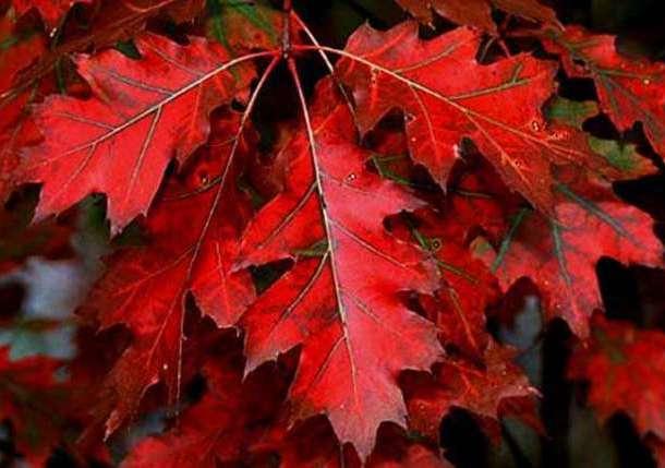 Саженцы красного дуба, фотография 2
