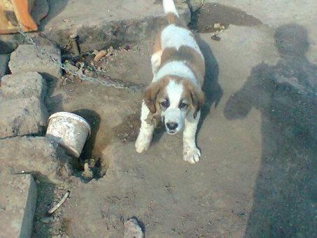 щенок алабая 1,5месяц, фотография 1