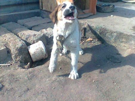 щенок алабая 1,5месяц, фотография 2