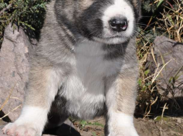 Выставлен на продажу щенок САО - алабай от супертяжа, фотография 1