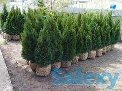 Саженцы Туи для озеленения, фотография 5