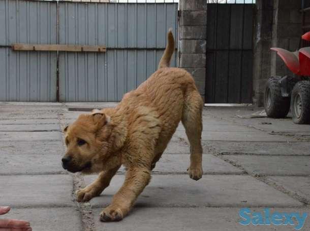 Продам щенка испанского мастифа, фотография 1