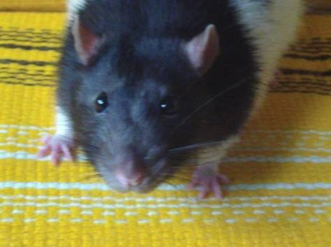 Крысы декоративные, фотография 6