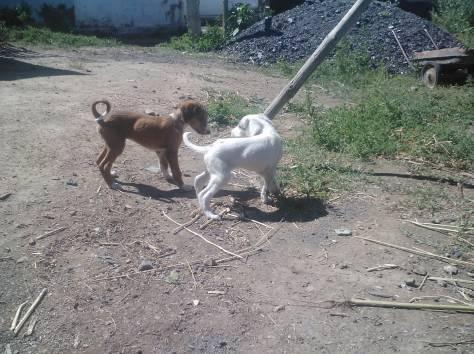 Продам щенков, фотография 4