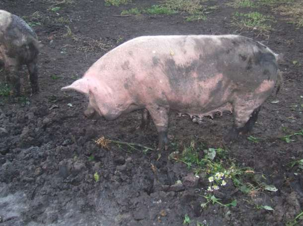 Продам две свиноматки,поросные , фотография 4