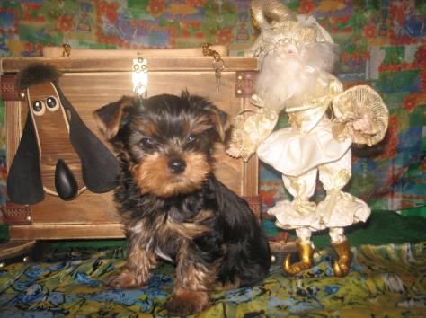 предлагаю щенков йоркширского терьера, фотография 2