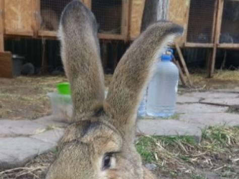 Продам кроликов , фотография 6