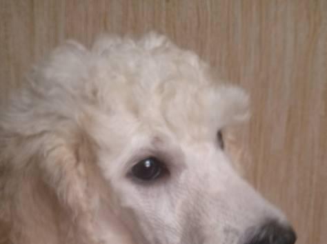 Продам щенков большого королевского пуделя, фотография 2
