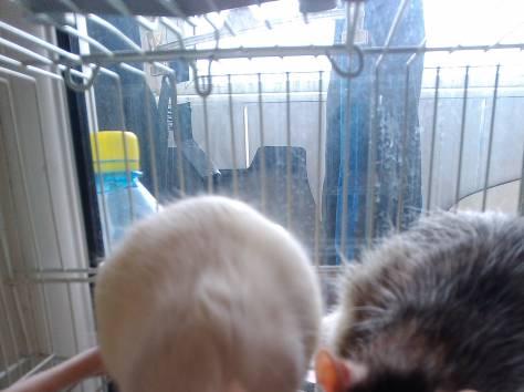 продам крысят, фотография 3