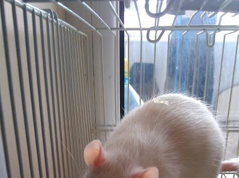 продам крысят, фотография 4