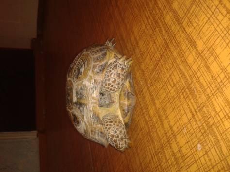 Продам черепаху, фотография 1