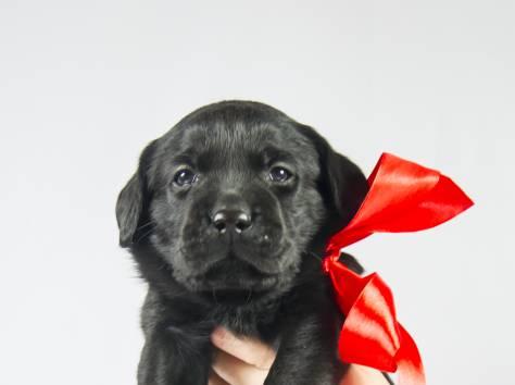 Продаю щенков Лабрадоров, фотография 2
