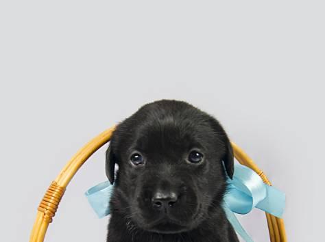 Продаю щенков Лабрадоров, фотография 5